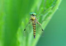 Rhagionidae – Chrysopilus asiliformis