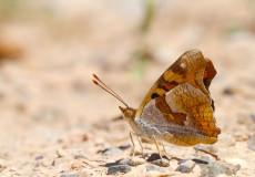 Anadolu Şehzadesi (Thaleropis ionia)