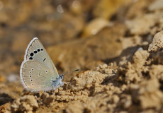 Anadolu Karagözmavisi  (Glaucopsyche astraea)