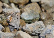 Mücevher Kelebeği  (Chilades trochylus)