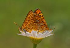 Nazuğum  (Euphydryas aurinia)