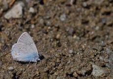 Çokgözlü Rus Mavisi  (Polyommatus coelestinus)