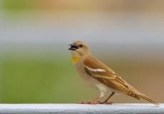 Sarıboğazlı serçe (Gymnoris xanthocollis)