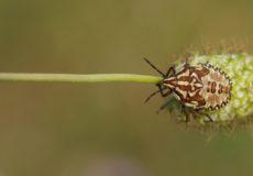 Carpocoris pudicus
