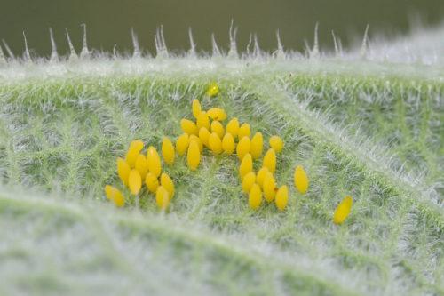 Henosepilachna-argus-yumurta