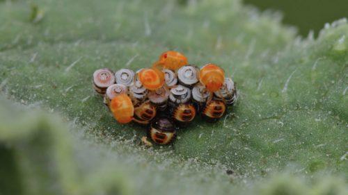 Eurydema-ventralis-3