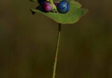 Polygonum perfoliatum (Kapliçotu)