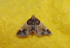 Pyralis farinalis (Un Güvesi)