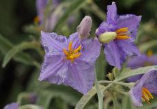 Solanum elaeagnifolium (kırkapinası)