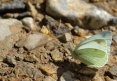 Dağ Beyazmeleği  (Pieris ergane)