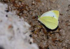 Mann`ın Beyazmeleği  (Pieris mannii)