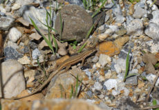 Tarla Kertenkelesi (Ophisops elegans)