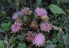 Cirsium rhizocephalum ssp. sinuatum