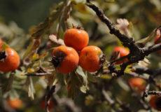 Crataegus orientalis subsp. szovitsii (Koyun Alıcı)