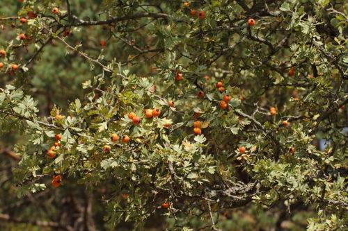 Crataegus-orientalis-subsp.-szovitsii-(Koyun-Alıcı)-2