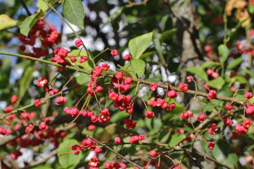 Euonymus-europeaus-(iğcik-ağacı)