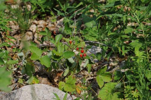 Fragaria vesca (Dağ çileği) 3
