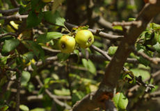 Malus sylvestris ssp. orientalis var. orientalis (Acuk)