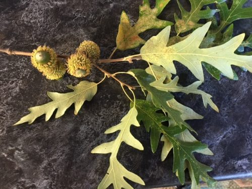 Quercus cerris (Saçlı meşe)