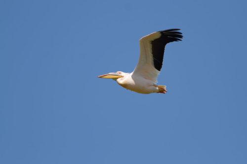 ak-pelikan-uçar