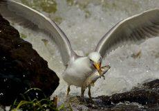 Van gölü martısı (Armenian Gull) & İnci Kefali (Alburnus tarichi)