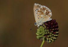 Çokgözlü Çilli Mavi  (Polyommatus coridon)
