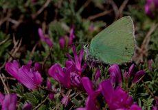 Anadolu Zümrütü  ( Callophrys paulae)